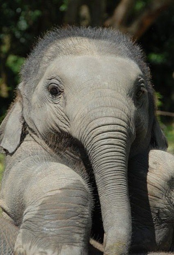 Facts about Elephants for Kids10