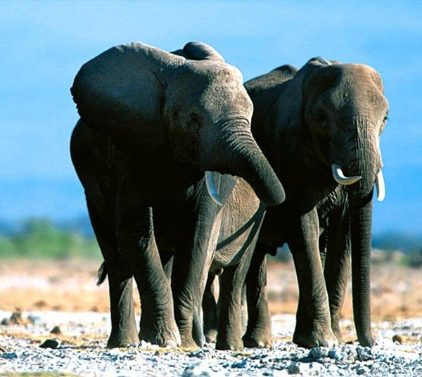 Facts about Elephants for Kids15