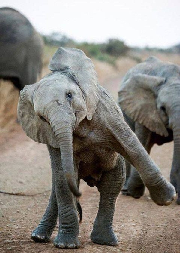 Facts about Elephants for Kids19