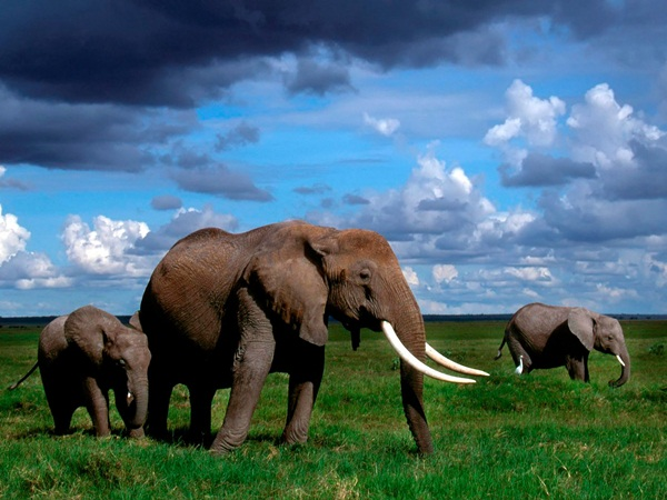 African Elephants; Amboseli National Park, Kenya